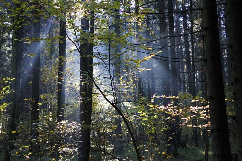 Rays of light breaking through the trees. forest thicket on a foggy morning. Forest thicket on a foggy morning. rays of light breaking through the trees royalty free stock images