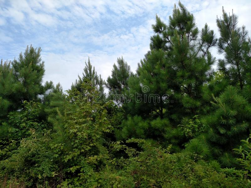Forest top with blue sky stock photography