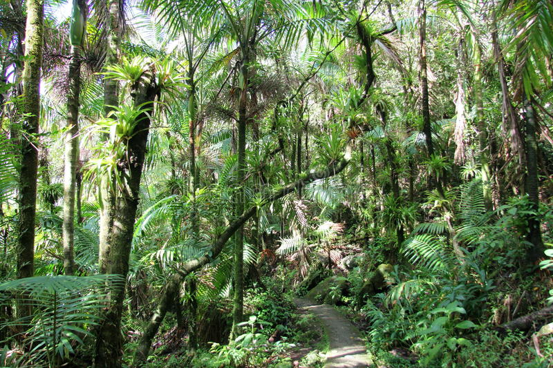 A forest trail, El Yunque royalty free stock photo