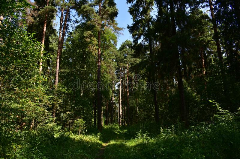On a forest trail in one of the summer Sunny days between the trees in the forest among tall stock images