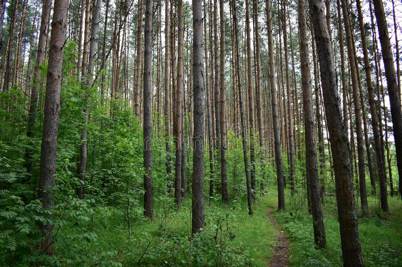 Forest trail in a pine slender high forest, green grass. Tall pine trees to the heavens stock image