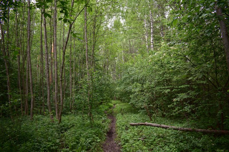 Forest trail stitch path winds through the trunks of mixed forest trees stock images