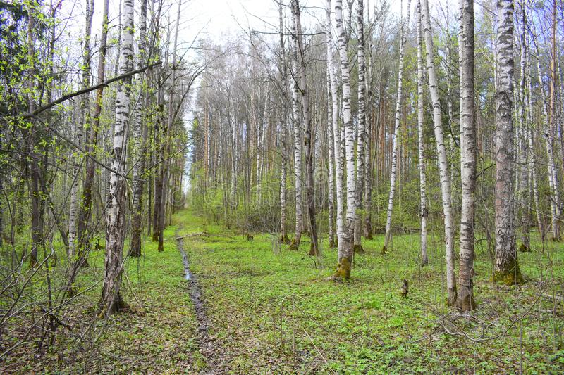 Forest trails in the spring forest. Green carpet blossomed the grasses. White birch trees are standing in the forest stock photos