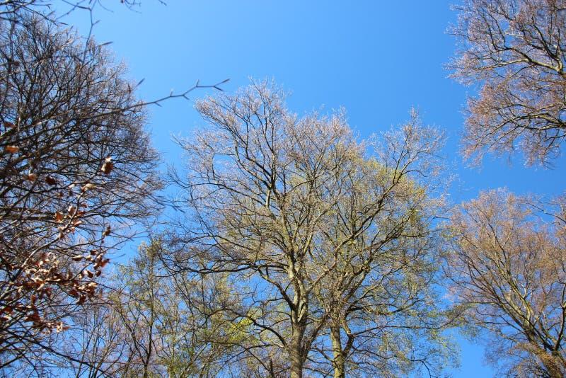 Forest Tree Budding Young Green lascia in primavera fotografia stock