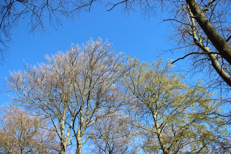 Forest Tree Budding Young Leaves nella primavera immagine stock libera da diritti