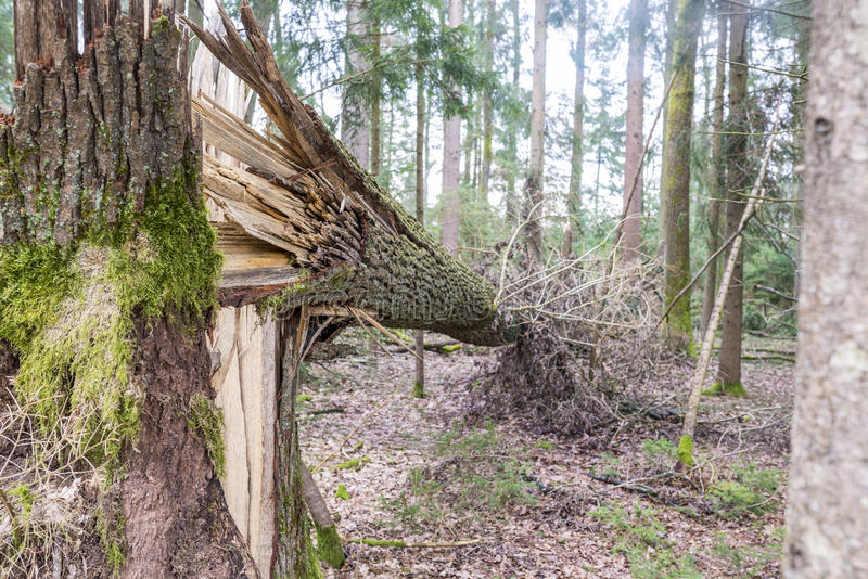 Forest tree felled in a storm stock photos