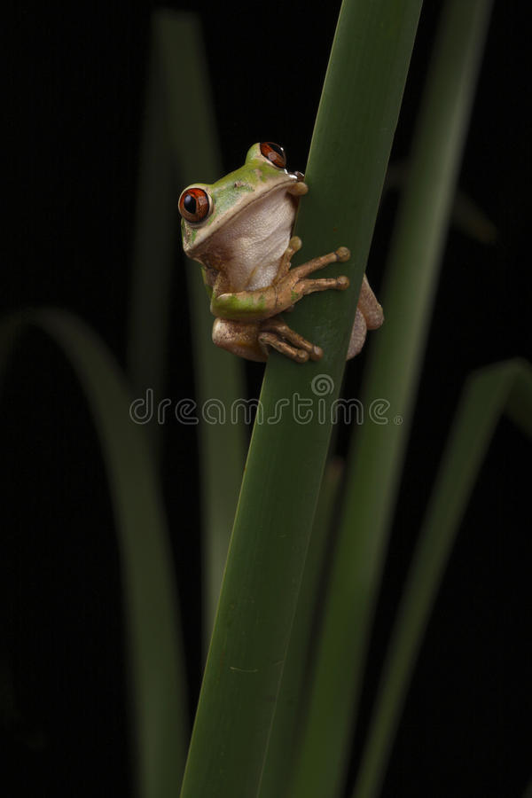 Forest Tree Frog Stock Photo