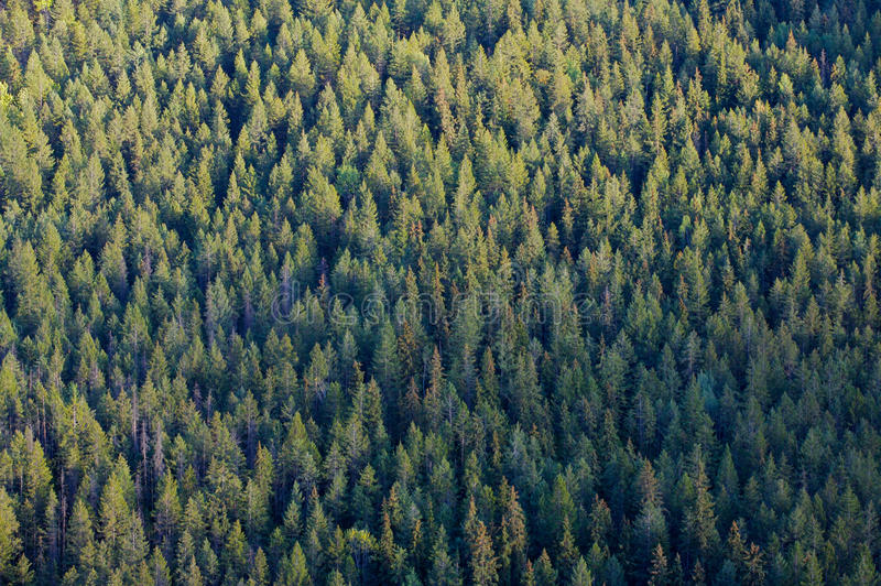 Forest tree tops. Tree tops of coniferous forest stock photos