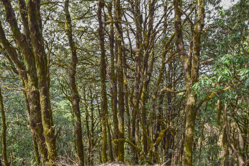 Forest trees in Binsar wildlife sanctuary. Tropical forest in Himalayan mountain range stock image