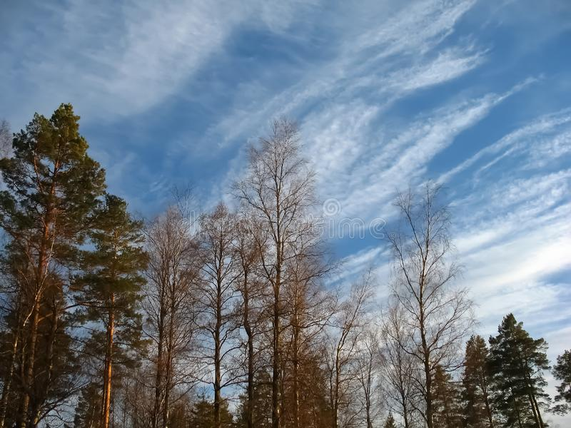 Forest trees, blue sky, clouds. Magic pine tree plants, scene stock photography