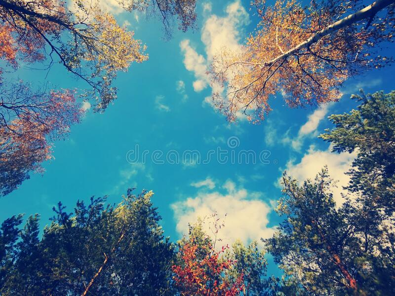 In forest, trees and blue sky. Trees in the forest, blue and cloudy sky, nature stock photos