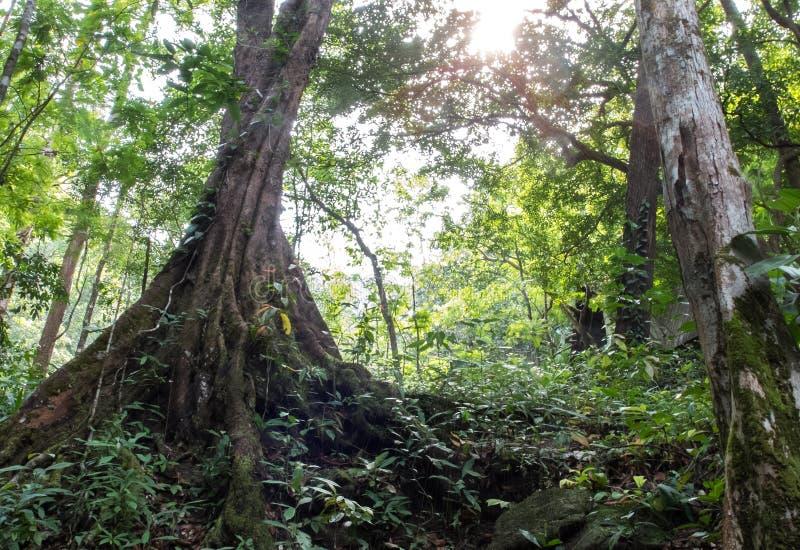 Forest Trees en la estación de verano, la opinión de perspectiva de árboles grandes con las raíces y la luz del sol en la selva p imagenes de archivo