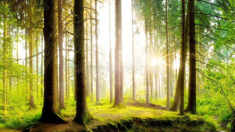 Forest trees on spring morning. Forest trees and moss on a spring morning royalty free stock image