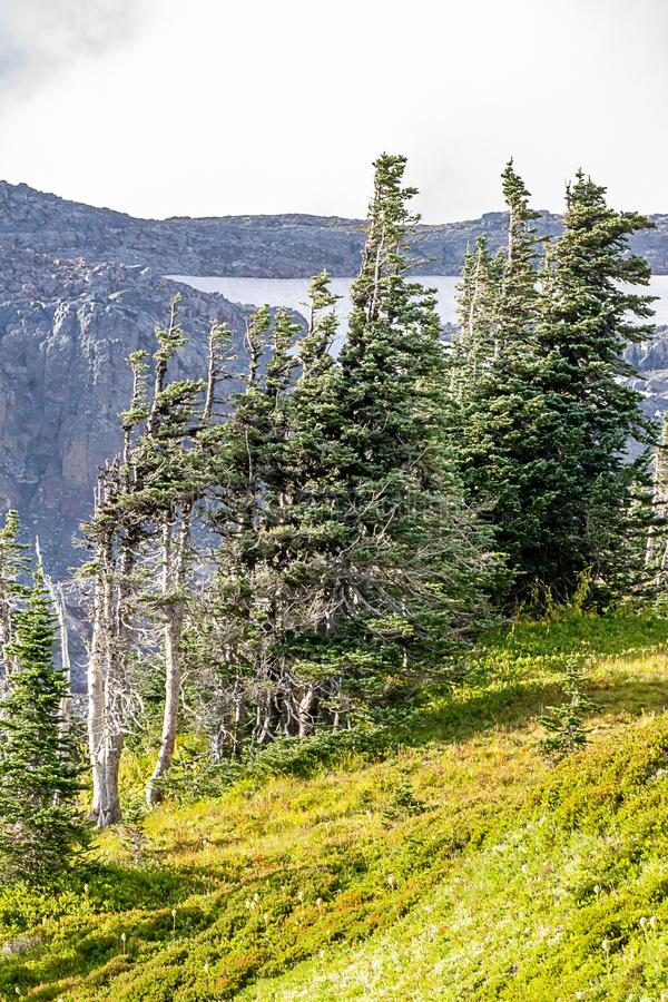 Forest trees with mountains in the background. In washington state stock images