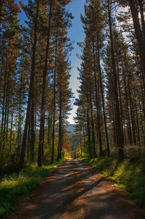 Forest of trees. forest road. green nature stock images