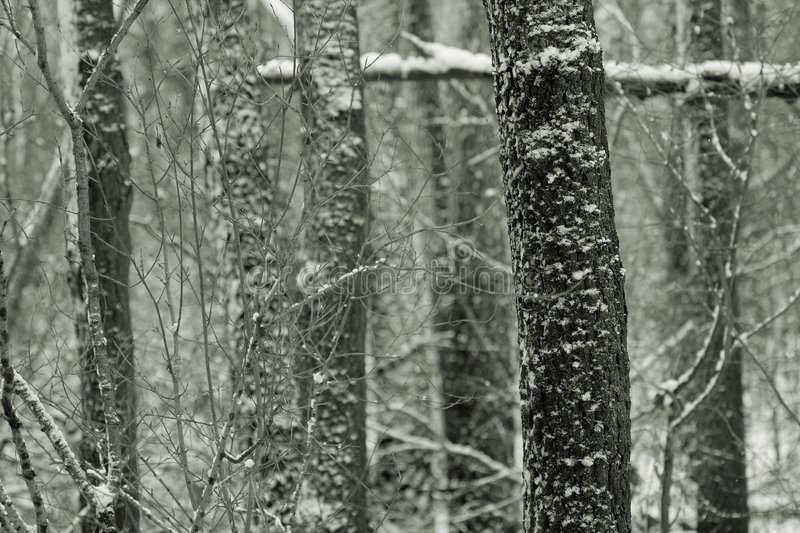 Forest Trees in Snow royalty free stock image