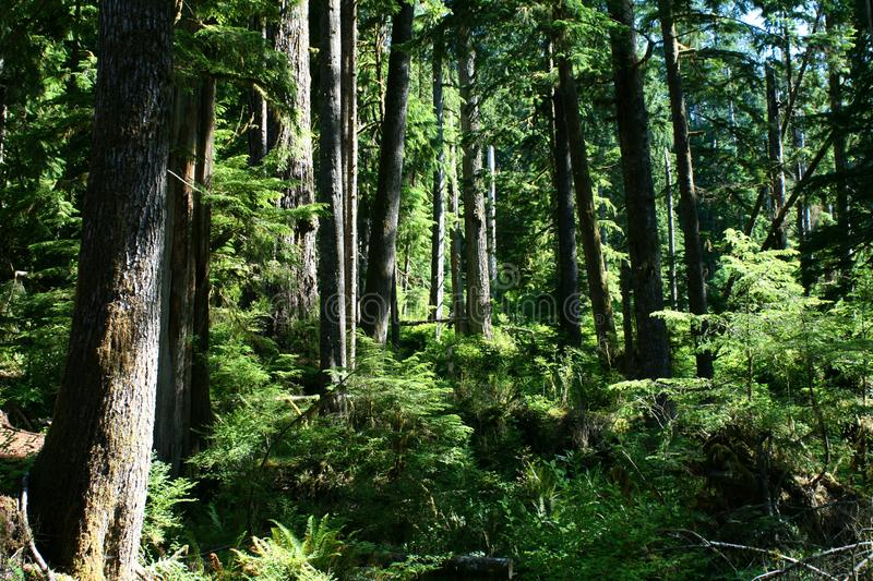 Forest trees stand in shafts of sunlight stock image