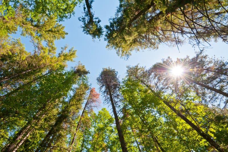 Forest trees with sun burst stock photos