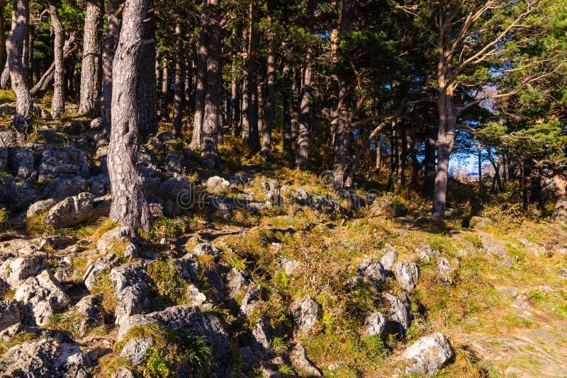 Forest trees sunlight background. Rocks in deep forest landscape. Forest trees sunlight background. Mossy rocks in deep forest landscape. Forest trees sunlight stock image