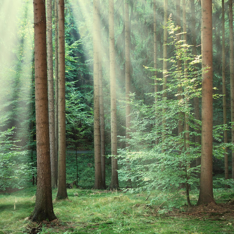 Forest trees with yellow sun beams shining through royalty free stock images