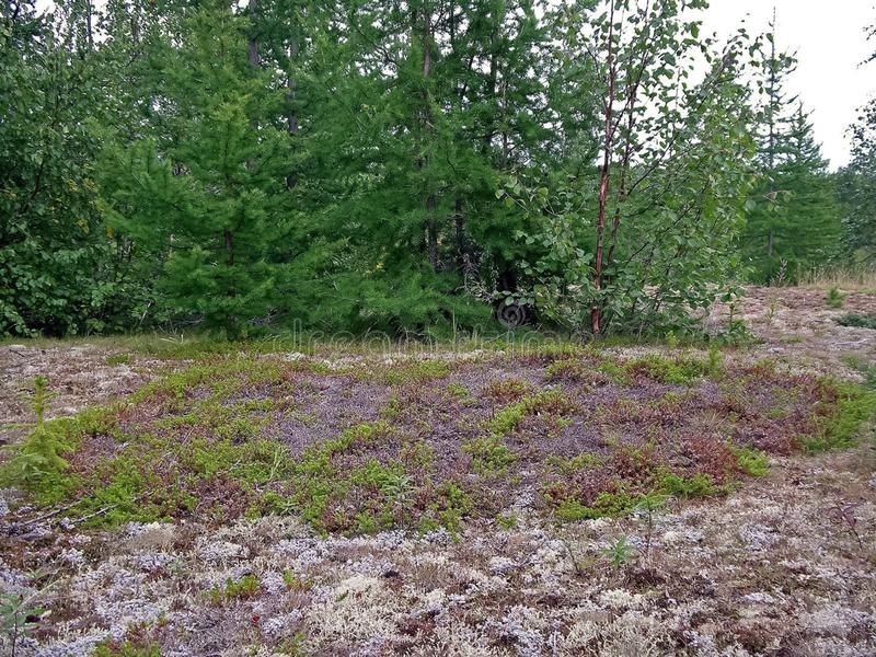 Forest tundra in the summer. Taiga of Siberia. Yamal. Forest tundra landscape in the summer. Taiga of Siberia. Yamal royalty free stock photography