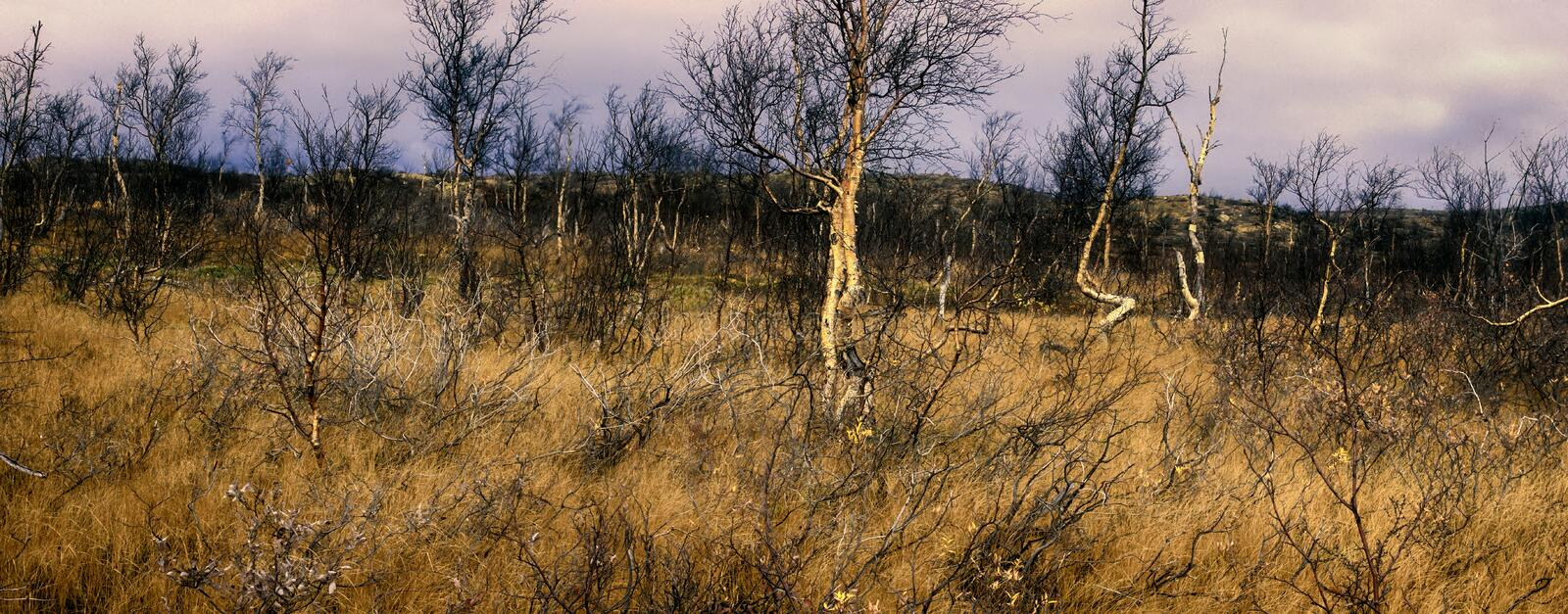 Forest-tundra in middle of autumn - Crooked birch stock images