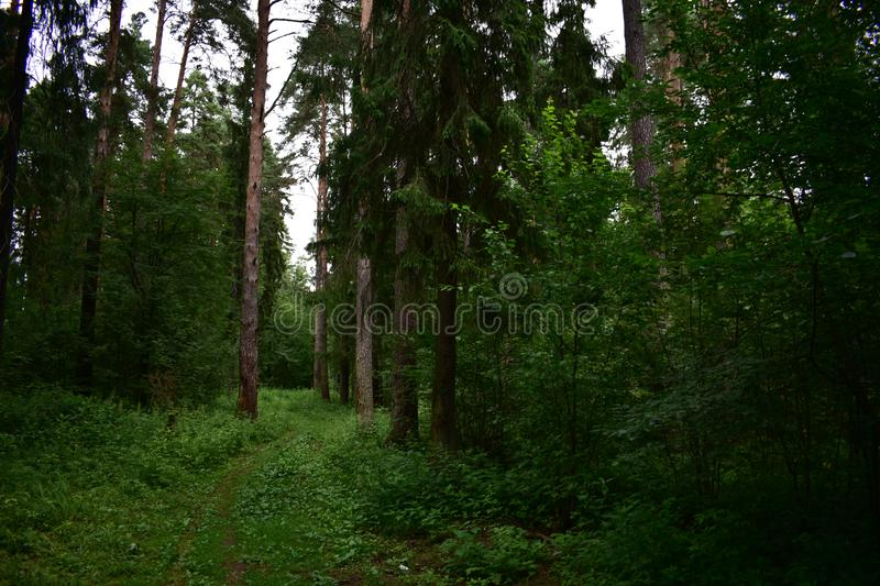 The forest turn of the road at a slender fir-tree winds in the distance. The forest turns green, forest hay waiting for royalty free stock images