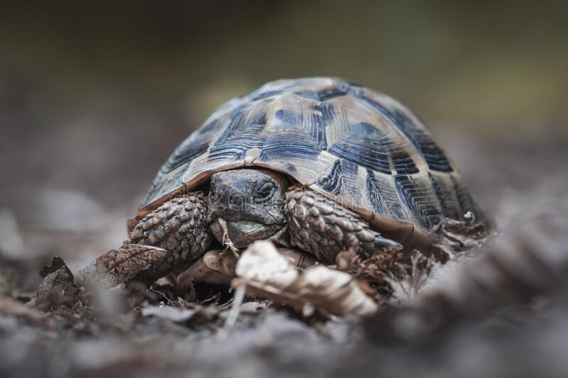 Forest turtle in a natural environment.  royalty free stock photography