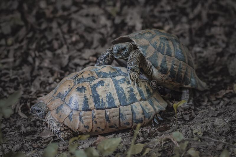 Forest turtles have sex in natural environment.  royalty free stock photography