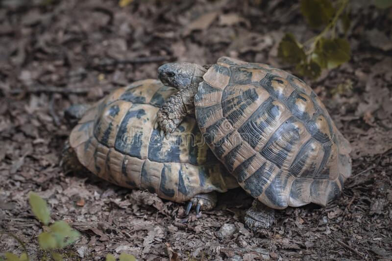 Forest turtles have sex in natural environment.  stock photo
