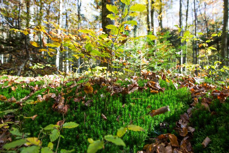 Forest Undergrowth en Gevallen Bladeren op Sunny Autumn Day stock afbeeldingen