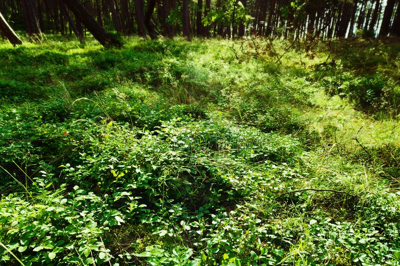 Forest understory. Green foliage of wild bilberry plants. Forest understory. Green foliage of wild bilberry Vaccinium myrtillus plants growing in the forest stock photos