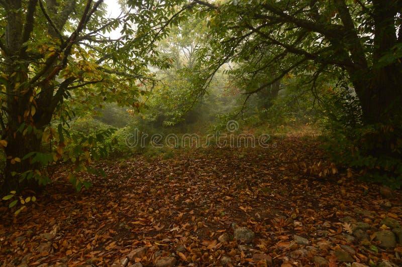 Forest Very Leafy Full Of för kastanjebrunt träd kastanjer på jordningen på en dimmig dag i Medulasen Natur lopp, landskap royaltyfria foton