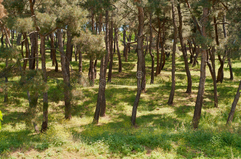 Forest View. Photo of a forest. Long and vertical trees are visible and it has a very saturated green grass stock image