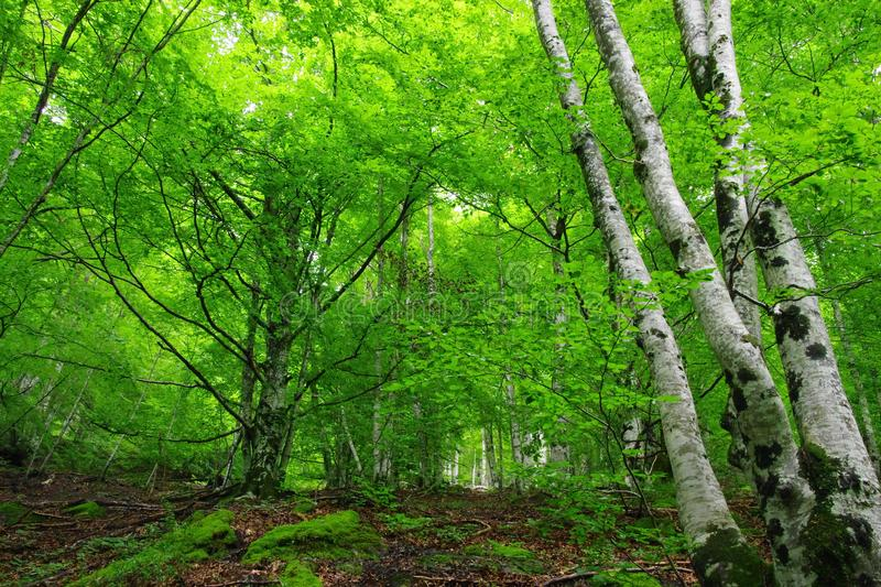 In the forest, view of trees: birches, and other trees. A contrast between green and brown and the white trunk of birches royalty free stock images