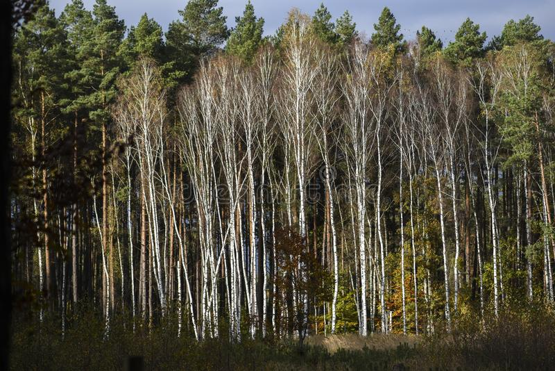 Forest with white birches in autumn in Poland. royalty free stock image