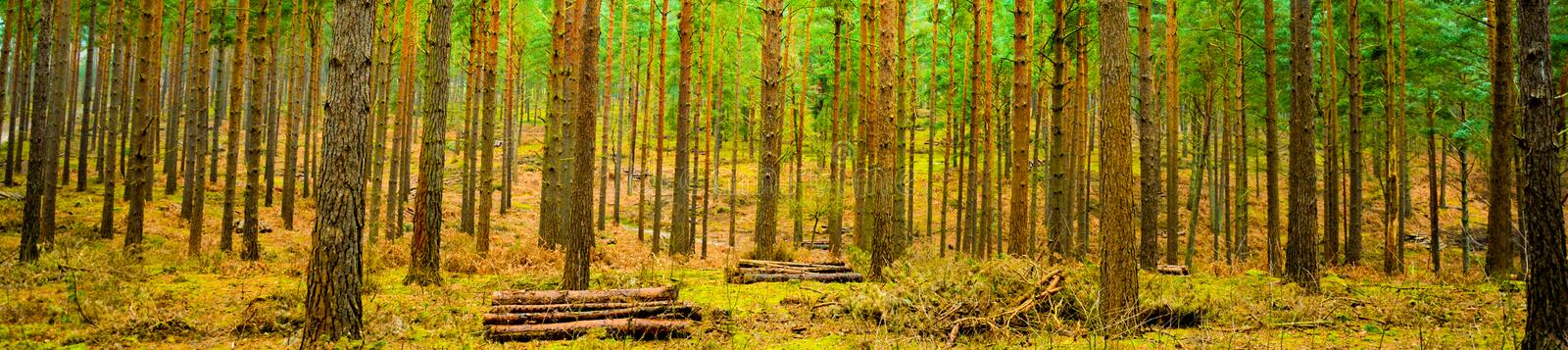 Forest. A wide angle shot of a winters forest in the UK royalty free stock photography