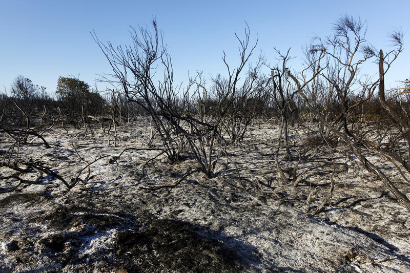 Forest Wild after Fire. Forest after fire with burned trees andbush royalty free stock photography