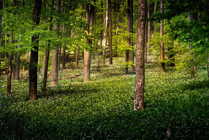 Download Forest With Wild Garlic Flowers Stock Image - Image: 18188567
