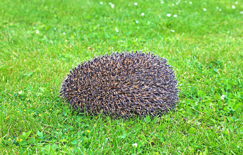 Forest wild hedgehog royalty free stock photography