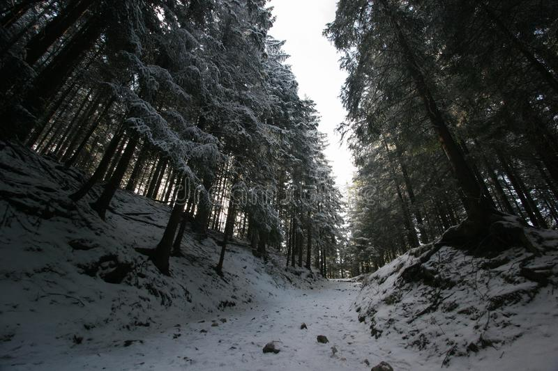 Forest in winter. Pine trees covered by snow. Picture taken from a forest trail from a frog perspective royalty free stock photography