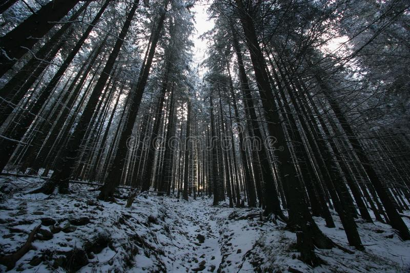 Forest in winter. Tall pine trees covered by snow. Picture taken from a forest trail from a frog perspective. The sun rays in the middle ofthe picture in the royalty free stock photos