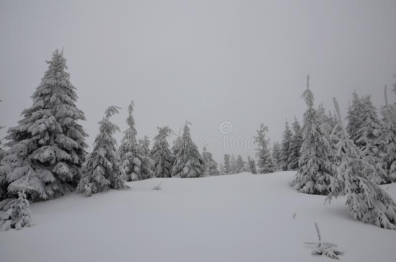Forest with snow royalty free stock images