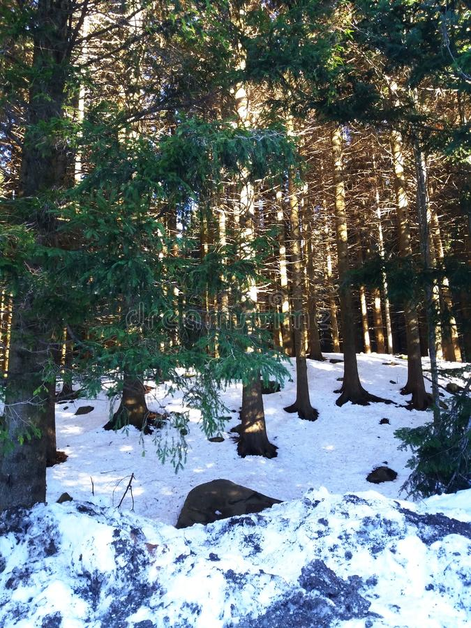 Forest in winter. Fir trees forest with sunlights and snow. Winter landscape. Winter time royalty free stock image