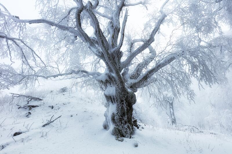 Forest in Winter with frozen trees royalty free stock photos