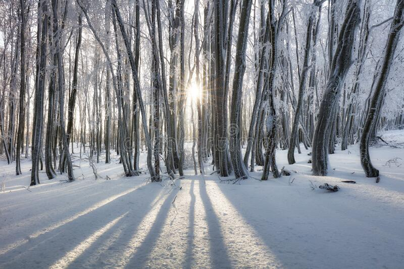 Forest in Winter with frozen trees stock photos