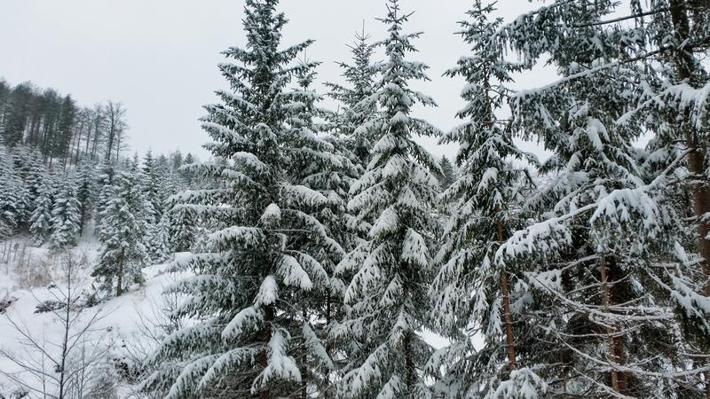 Snow covered pine trees. Winter in the mountains. Forest in winter. Snow covered pine trees royalty free stock photography