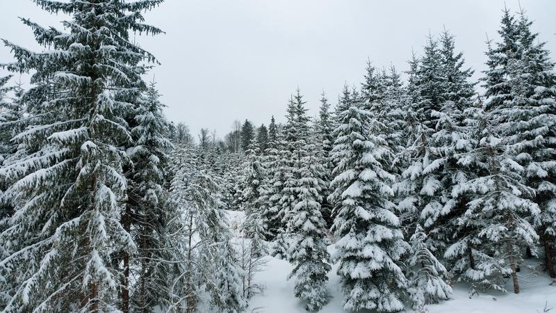 Snow covered pine trees. Winter in the mountains. Forest in winter. Snow covered pine trees royalty free stock photo