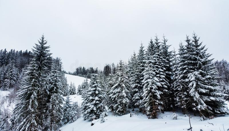Snow covered pine trees. Winter in the mountains. Forest in winter. Snow covered pine trees royalty free stock image