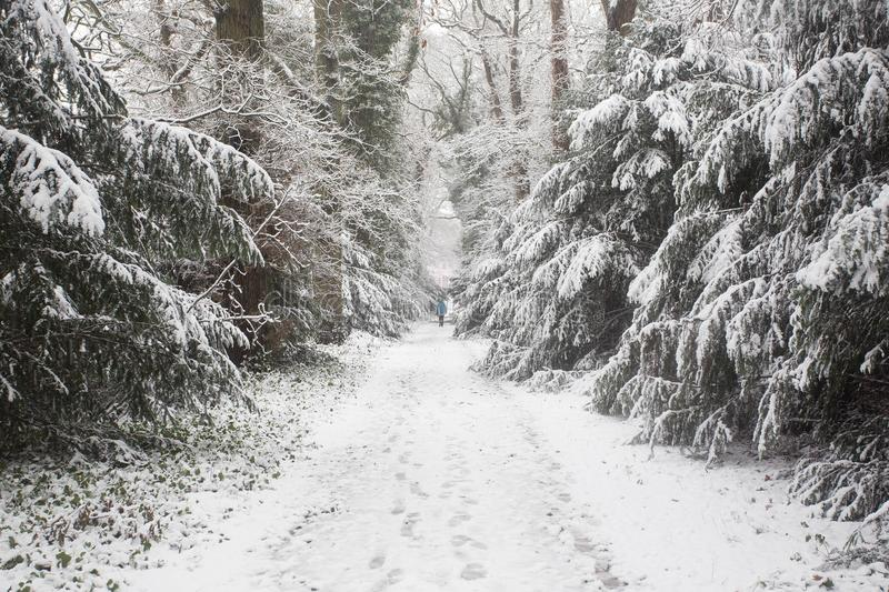 Forest in the winter with white snow and a men walking on the road stock photo